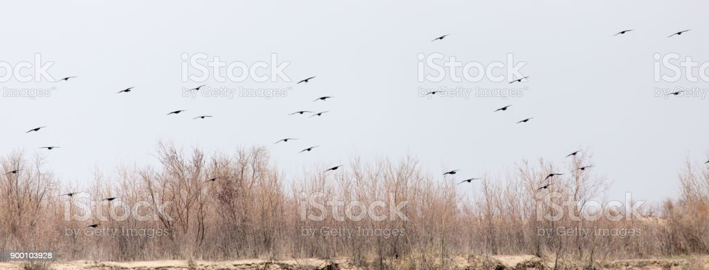 a flock of crows in the sky on the bare branches of trees stock photo