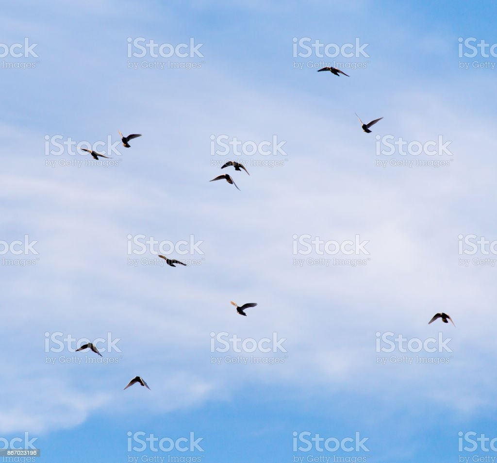 a flock of pigeons in the sky stock photo