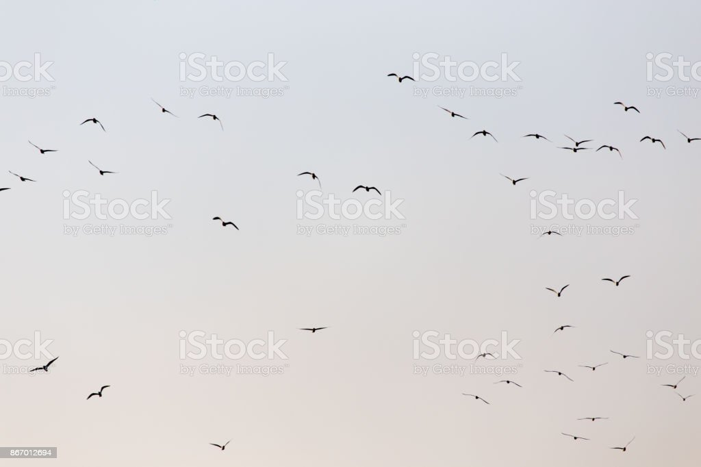 a flock of seagulls in the sky at sunset stock photo