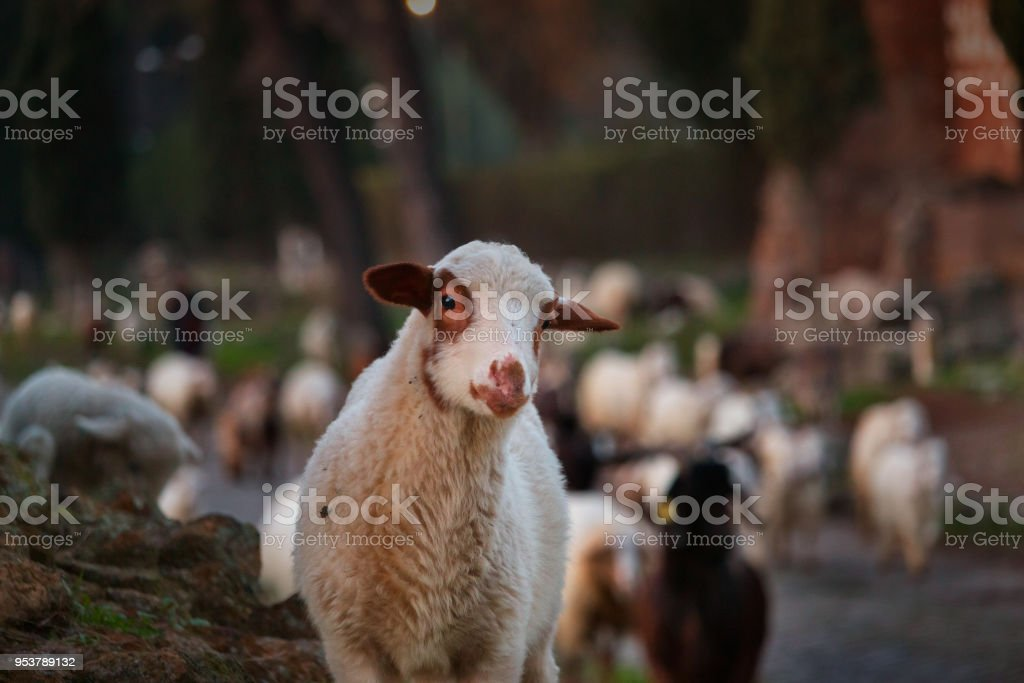 a flock of sheep grazes in the Ancient Appia stock photo
