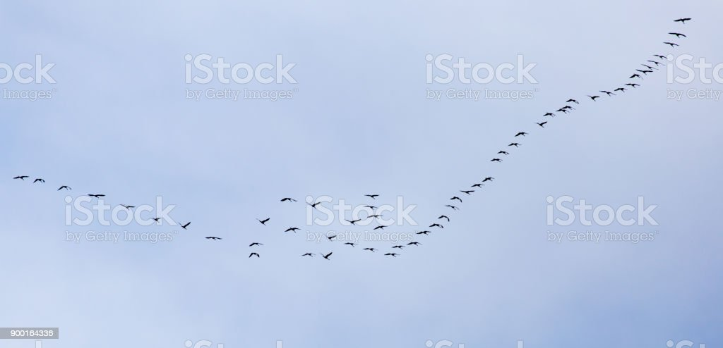 a flock of swans on the blue sky stock photo