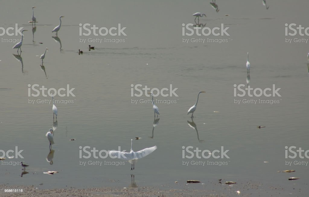 a flock of white egrets stock photo