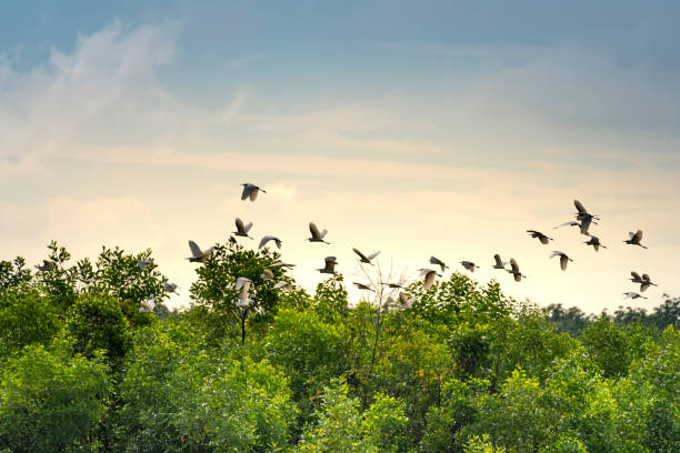 a flock stork were flying over the forest stock photo