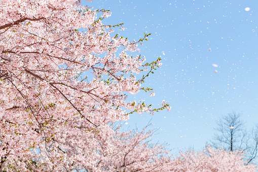 a flurry of cherry blossoms