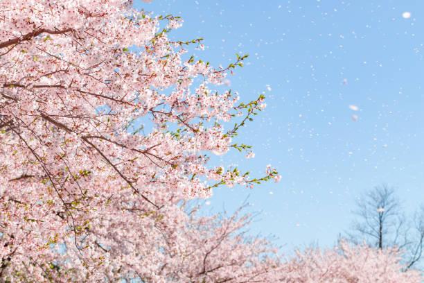 a flurry of cherry blossoms - cherry blossoms imagens e fotografias de stock