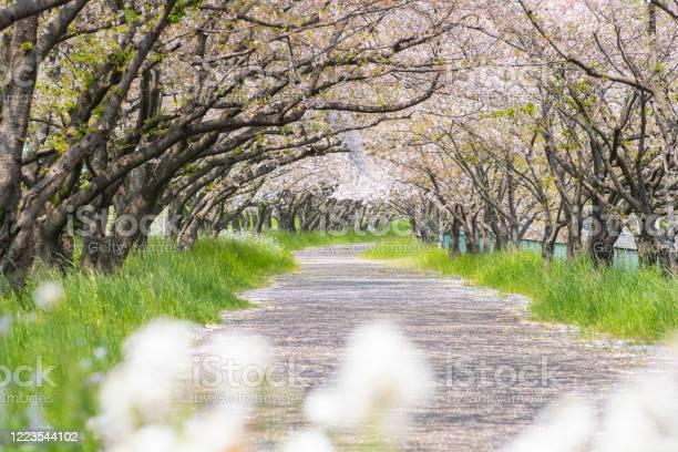 A flurry of cherry blossoms picture id1223544102?b=1&k=6&m=1223544102&s=612x612&h=khhvk0ugkaojljdjnnu0lnz6m k59wsv9r2vi6tyq0s=