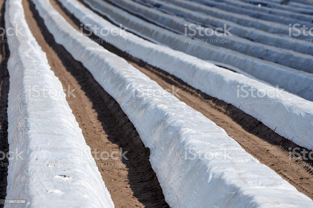 Ein mit Folien bedecktes Spargelfeld – Foto