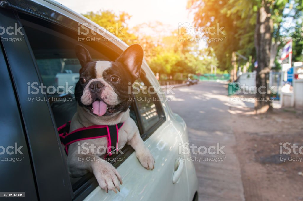 a french bulldog is looking outside the car royalty-free stock photo