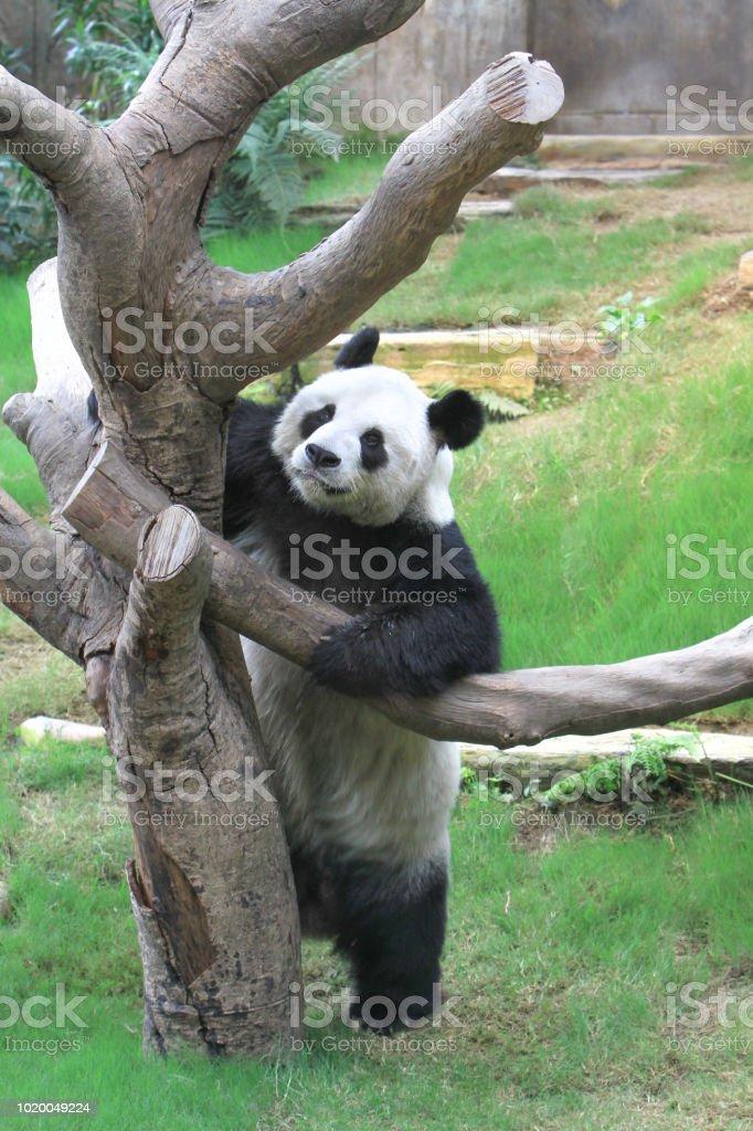 海洋公園裡的一隻大熊貓熊圖像檔