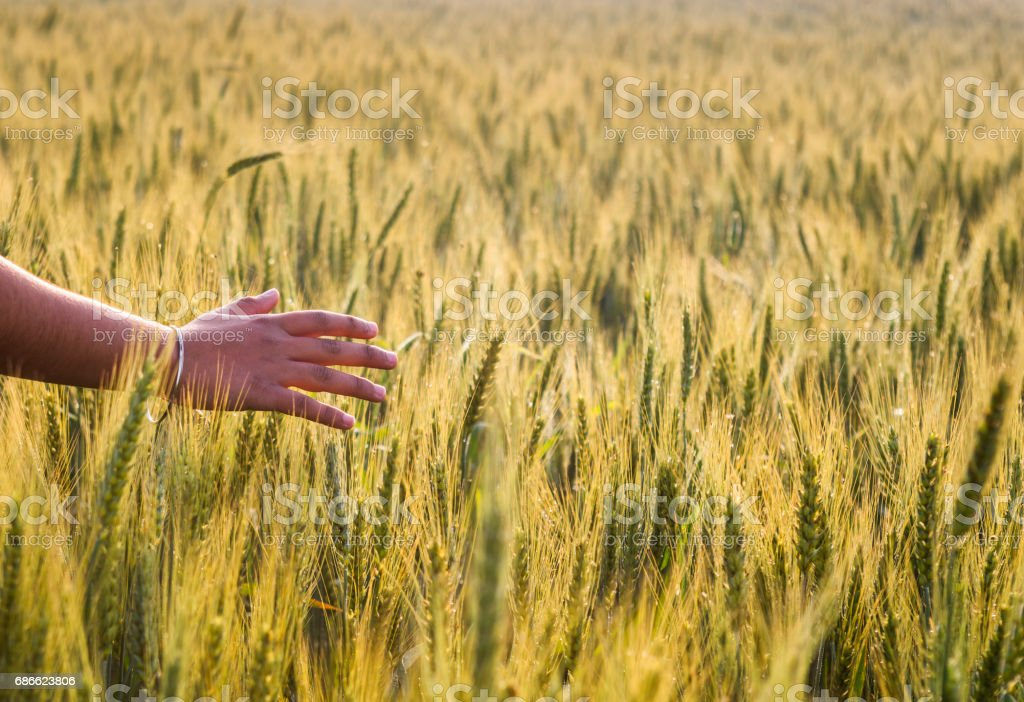 a girls hand in wheat field royalty-free stock photo