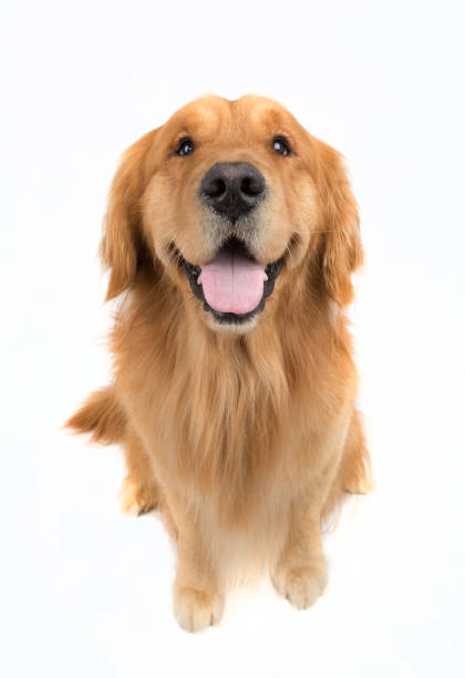 a golden retriever  with white background a golden retriever  with white background from top view, and it is sitting retriever stock pictures, royalty-free photos & images