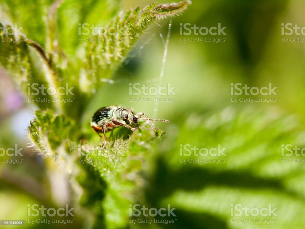 a green armoured bug on top of a leaf with its eye in clear focus macro sharp spring daytime light stock photo