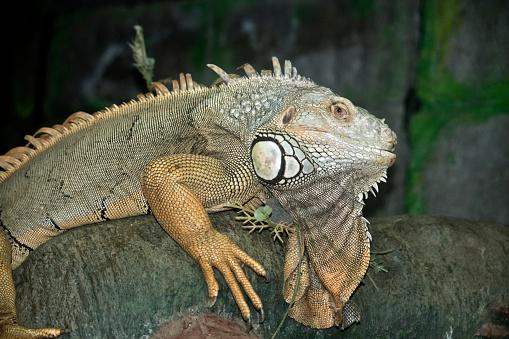 the green iguana is climbing up a rock