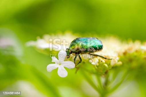 a green may bug sits on a flower on a natural green background