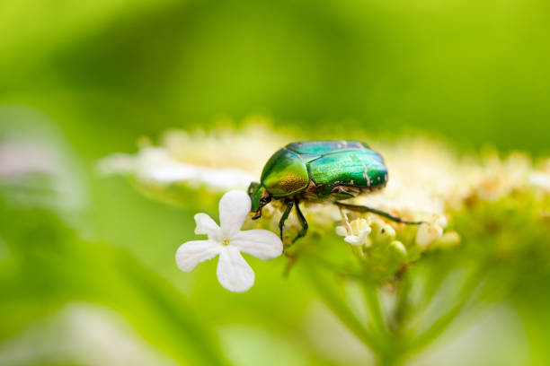 a green may bug sits on a flower on a natural green background stock photo