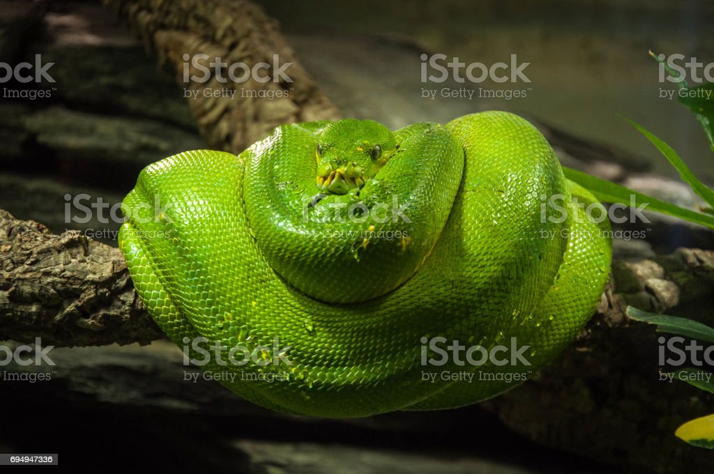 a green python coiled on a branch stock photo