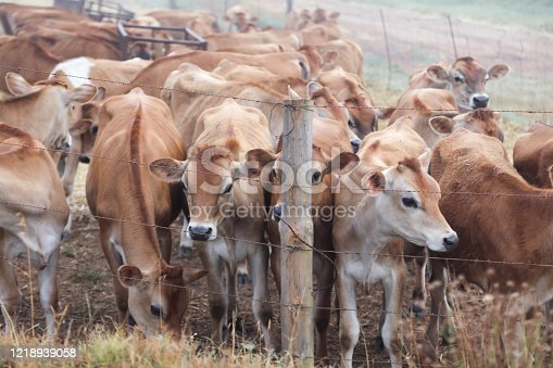 a Group of calfs on the farm.