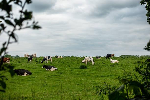 Eine Herde von schwarzen und weißen Kühen steht auf einer grünen Wiese und der Himmel ist bewölkt – Foto