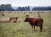 a herd of cattle feeding on the farmland