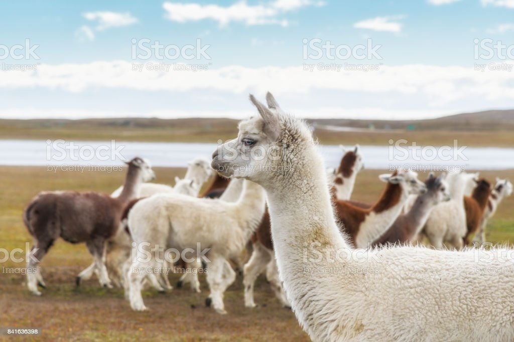 a herd of llamas, Argentinian Patagonia stock photo