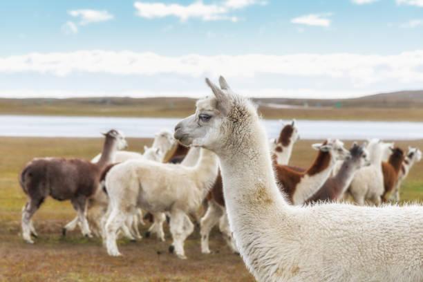 un rebaño de llamas, patagonia argentina - alpaca fotografías e imágenes de stock