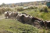 a herd of rams graze outside in the grass in the meadow. selective focus