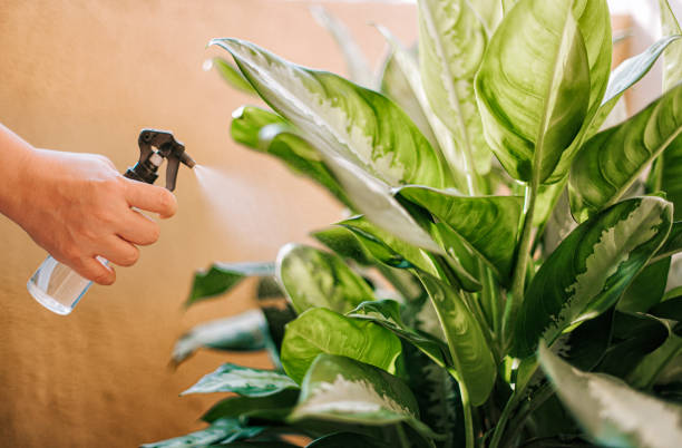 a human hand spray on dumbcane leave in the evening indoor at balcony using a spray bottle watering the plant stock photo