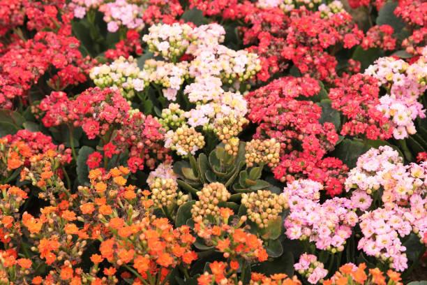 春天的卡蘭喬開·布洛斯費迪亞納與自然圖像檔