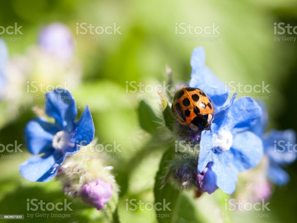 a ladybird shell on top of some small blue flowers outide forget me nots in spring day light stock photo