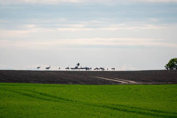 Eine große Gruppe von Kranen, die am Horizont auf einem Feld stehen – Foto
