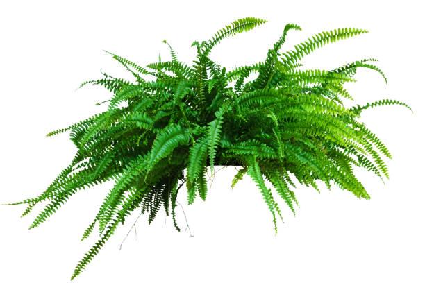 eine große topfpflanze. farn isoliert auf weißem hintergrund - farn stock-fotos und bilder