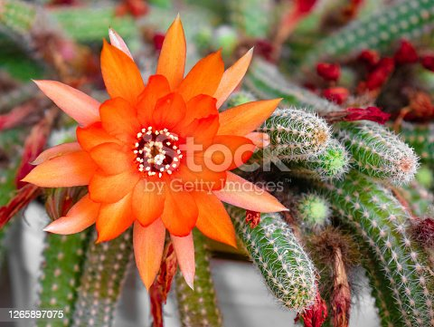 Macro view of a large red flower with many petals surrounded by the elongated, spiny arms of a cactus Echinopsis chamaecereus