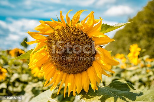 a large yellow sunflower in a field