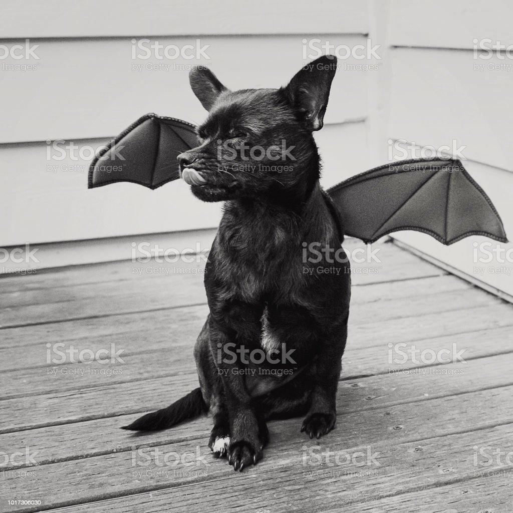 a little black bat dog licks his face stock photo