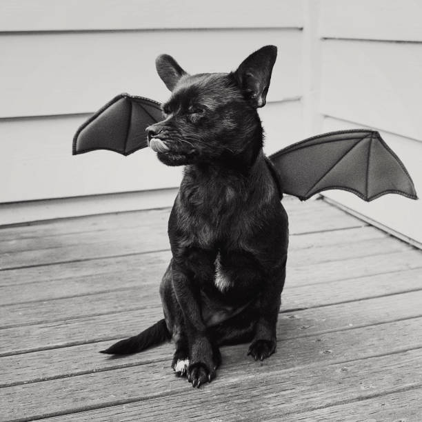 a little black bat dog licks his face stock photo