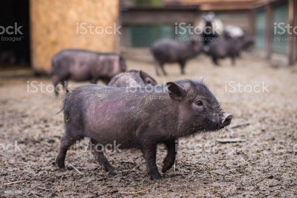 a little black pig walks around the yard stock photo