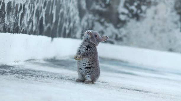ein kleinen kaninchen im schnee - schneeschuhhase stock-fotos und bilder