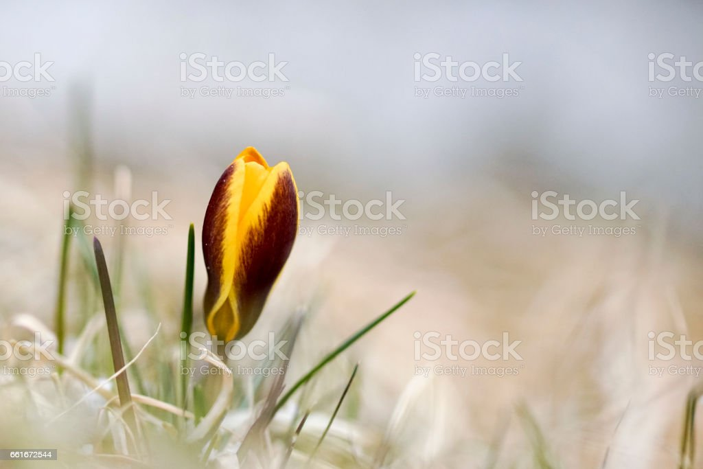 a lone yellow Crocus in spring,natural background stock photo