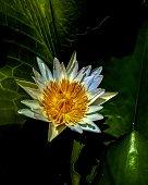 a lotus flower in full bloom