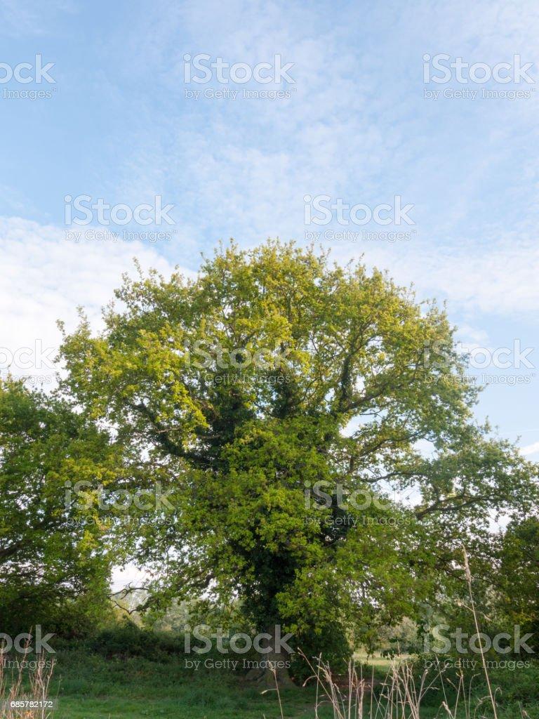 un bel arbre mûr fraîche avec vert feuilles nature beauté de plus en plus photo libre de droits
