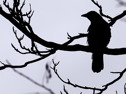 a magpie in silhouette perched on a branch in a winter tree against a blue sky