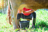a man milking a cow in the meadow. In manual mode.
