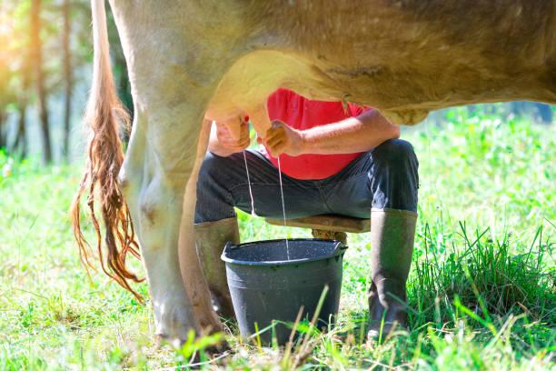 ein Mann Melken eine Kuh auf der Wiese. Im manuellen Modus – Foto