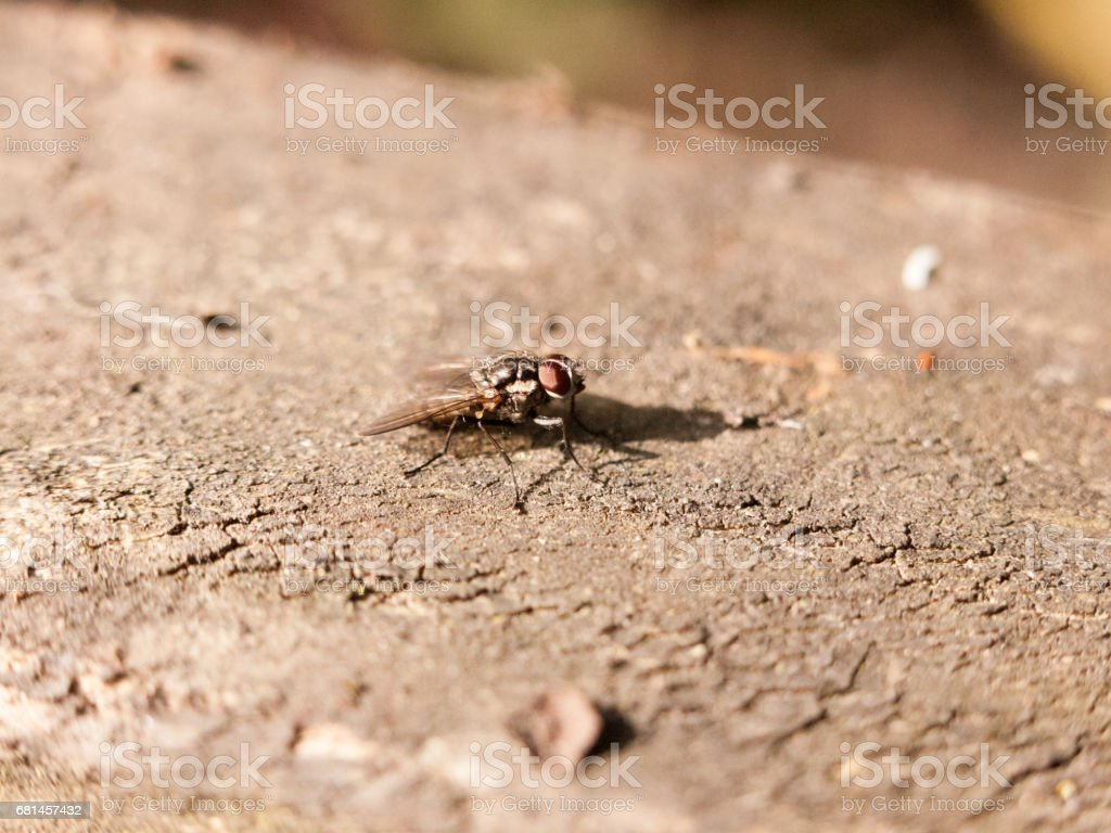 a medium fly resting on the tree bark motionlesss outside in forest not moving close up macro with high detail royalty-free stock photo