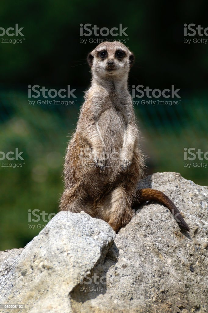 a meerkat on a rock royalty-free stock photo