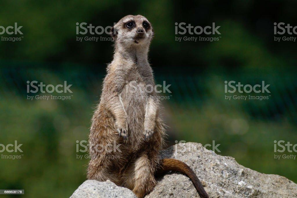 a meerkat on a rock photo libre de droits