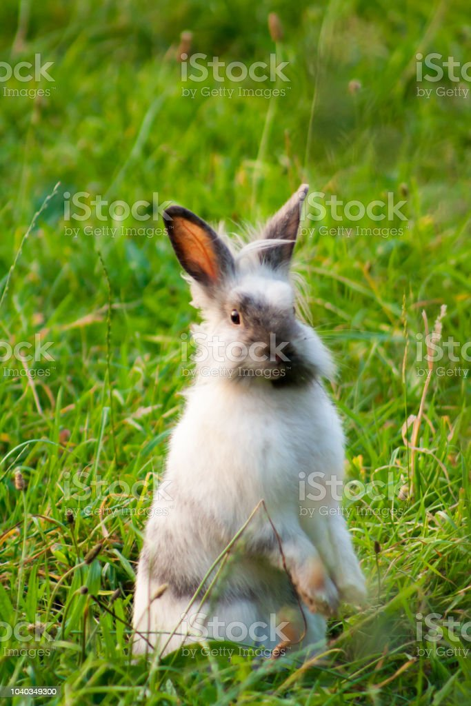 A Miniature Rabbit Standing On Hind Legs In The Grass Stock Photo