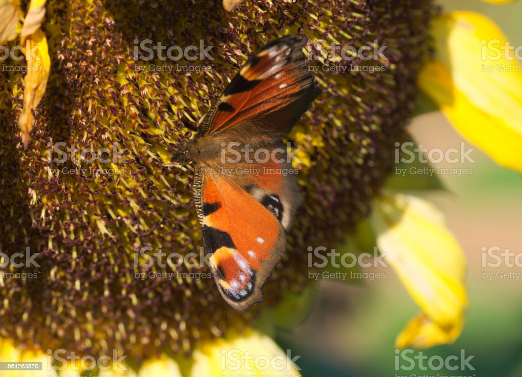 a nice peacock butterfly on a sunflower royalty-free stock photo