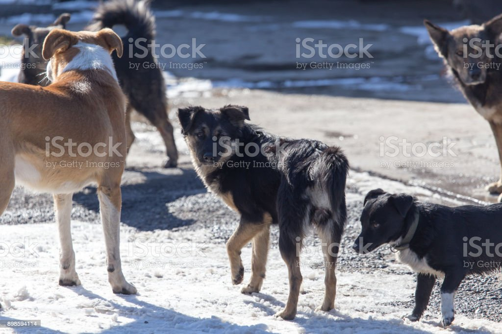 a pack of stray dogs stock photo