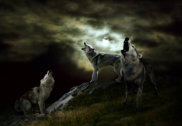 a pack of wolves on a dark night - lupo foto e immagini stock